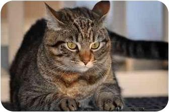 Domestic Shorthair Cat for adoption in Modesto, California - Sadie