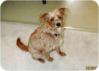 Irish Terrier Mix Dog for adoption in Calumet City, Illinois - Louie