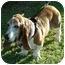 Photo 3 - Basset Hound Dog for adoption in Phoenix, Arizona - Oliver