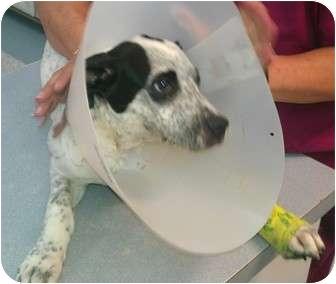 Blue Heeler Mix Puppy for adoption in Haughton, Louisiana - Blue Heeler mix puppy