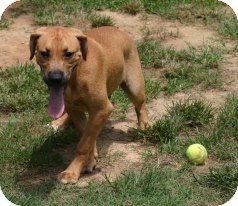 Black Mouth Cur Mix Puppy for adoption in Spanish Fort, Alabama - Alex