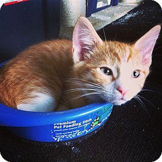 Domestic Shorthair Kitten for adoption in Lexington, Kentucky - Jake