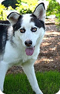 Siberian Husky Dog for adoption in Roswell, Georgia - King