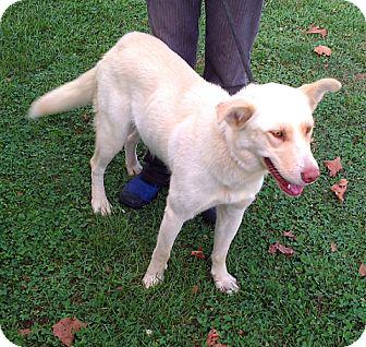 Shepherd (Unknown Type)/Husky Mix Dog for adoption in Metamora, Indiana - Audra