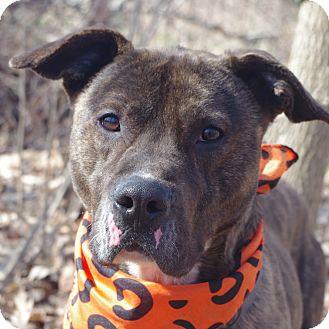 Mastiff Mix Dog for adoption in Poland, Ohio - SAMMY // 4
