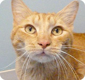 Domestic Shorthair Cat for adoption in Hastings, Nebraska - Tecumseh