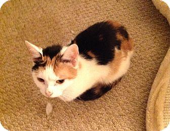 Calico Cat for adoption in Rochester, New York - Corrine