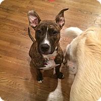 Adopt A Pet :: Vader - East Rockaway, NY