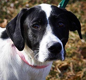 Pointer/Border Collie Mix Dog for adoption in st. jacob, Illinois - Dulli (Doolie)