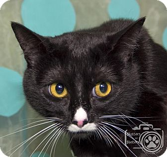 Domestic Shorthair Cat for adoption in Divide, Colorado - Freckles