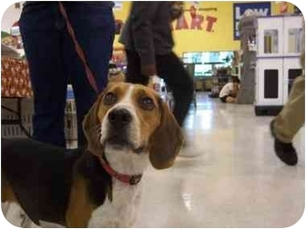 Beagle Dog for adoption in Ventnor City, New Jersey - ROSCOE