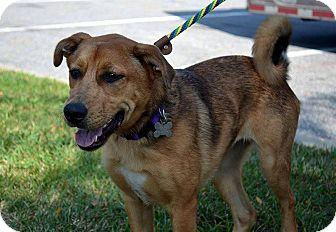 Australian Shepherd/Blue Heeler Mix Dog for adoption in Norwalk, Connecticut - Frances- MEET HER