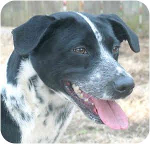Dalmatian Mix Dog for adoption in Cincinnati, Ohio - Trudy