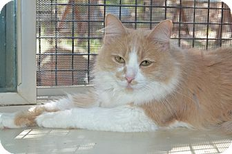 Domestic Mediumhair Cat for adoption in Roanoke, Texas - Paige
