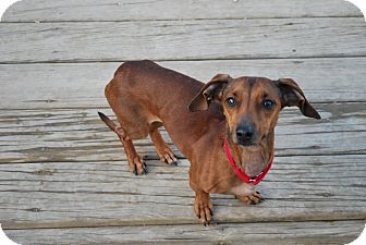 Dachshund Mix Dog for adoption in Berea, Ohio - Gemma