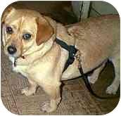 Welsh Corgi/Chihuahua Mix Dog for adoption in Lomita, California - Biscuit