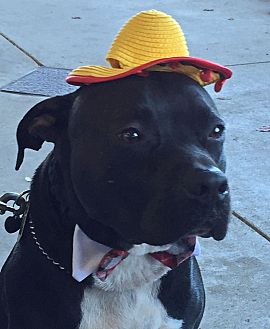 Pit Bull Terrier/Labrador Retriever Mix Dog for adoption in Boston, Massachusetts - A - BUGSY