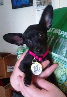 Chihuahua Mix Dog for adoption in Scottsdale, Arizona - Edi