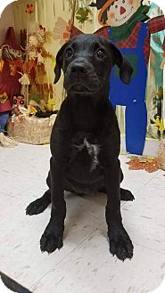 Labrador Retriever Mix Puppy for adoption in Patterson, New York - Skye