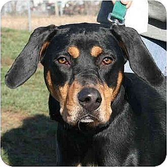 Rottweiler Mix Puppy for adoption in Huntley, Illinois - Abby