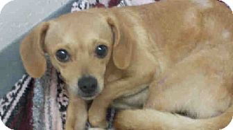 Chihuahua Mix Dog for adoption in Gainesville, Florida - Eli