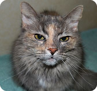 Domestic Longhair Cat for adoption in Michigan City, Indiana - Tina