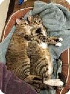 Domestic Shorthair Cat for adoption in Columbus, Georgia - Chloe 2664