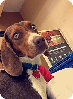 Beagle Mix Dog for adoption in Paducah, Kentucky - Cinnamon