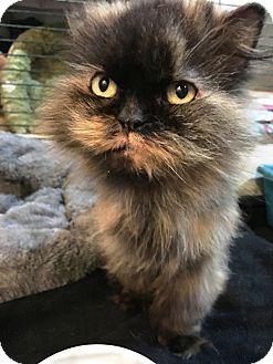 Persian Cat for adoption in Edinburg, Pennsylvania - Lucy