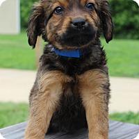Adopt A Pet :: Kingler - Waldorf, MD
