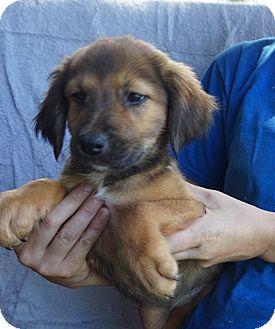 Australian Shepherd/Golden Retriever Mix Puppy for adoption in Oviedo, Florida - Fluffy