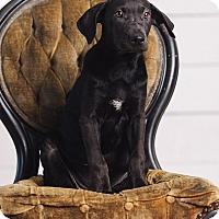 Adopt A Pet :: Hermione Granger - Portland, OR