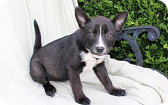 Australian Cattle Dog/French Bulldog Mix Puppy for adoption in richmond, Virginia - PUPPY CHANTEL