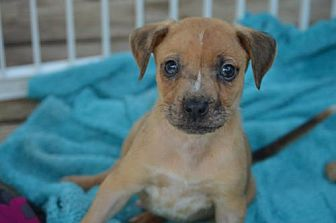 Chihuahua Mix Puppy for adoption in Fairmont, West Virginia - Jordy