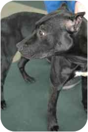 American Pit Bull Terrier Mix Dog for adoption in Walker, Michigan - Harmoney