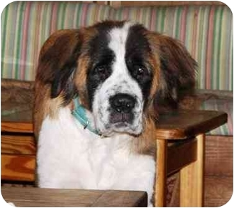 St. Bernard Dog for adoption in Wilmington, North Carolina - Molly