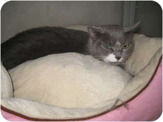 Domestic Shorthair Cat for adoption in Rock Springs, Wyoming - Molly