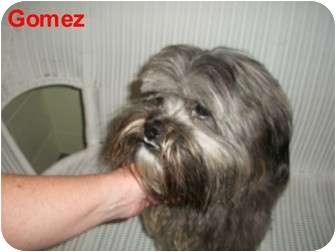 Lhasa Apso Mix Dog for adoption in Slidell, Louisiana - Gomez
