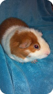 Guinea Pig for adoption in Grand Rapids, Michigan - Willy