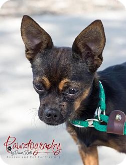 Chihuahua Mix Dog for adoption in Phoenix, Arizona - rocky