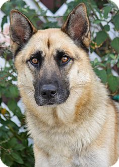 German Shepherd Dog Mix Dog for adoption in Los Angeles, California - Rupert von Runkle