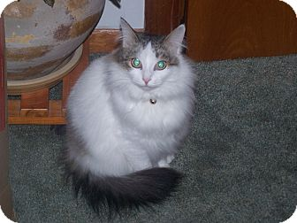 Domestic Mediumhair Cat for adoption in Saint Albans, Vermont - Marco