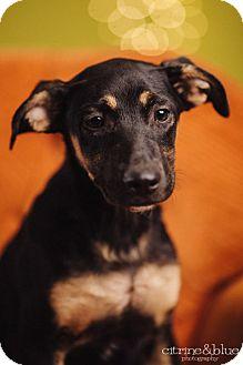 German Shepherd Dog Puppy for adoption in Portland, Oregon - Nod
