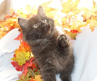 Domestic Longhair Kitten for adoption in Berlin, Connecticut - Ben