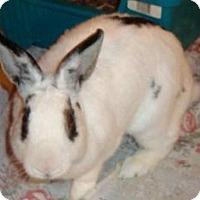 Adopt A Pet :: Cleo - Maple Shade, NJ