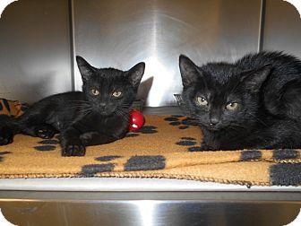 Domestic Shorthair Kitten for adoption in Jackson, New Jersey - Autumn