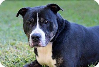 American Pit Bull Terrier Dog for adoption in Port Washington, New York - King