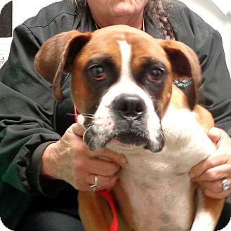 Boxer Dog for adoption in Manassas, Virginia - Gardenia