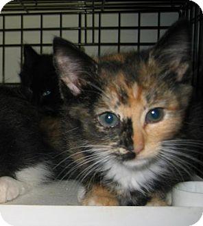 Domestic Mediumhair Kitten for adoption in Salem, Oregon - Cream Soda (shelte