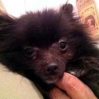 Adopt A Pet :: Max - Studio City, CA